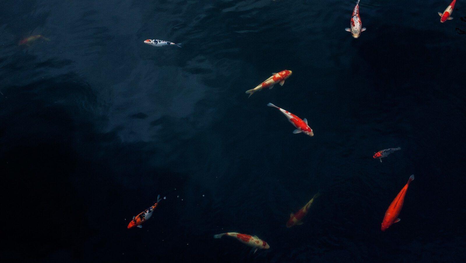 Vijver vissen